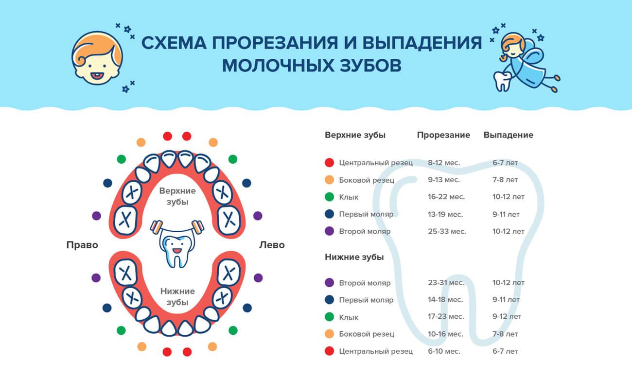Схема прорезывания и выпадения молочных зубов в картинках