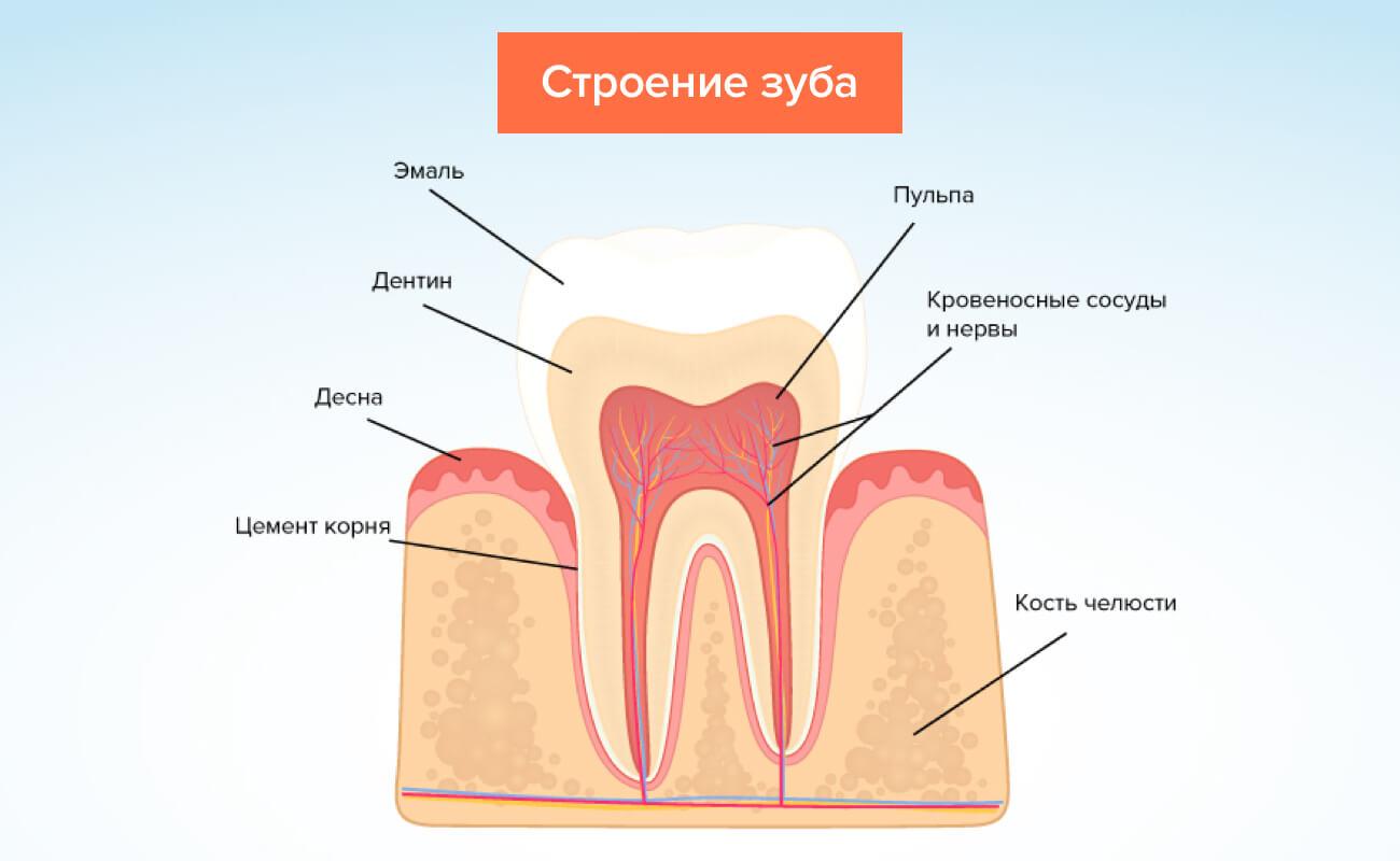 Строение зуба в картинках