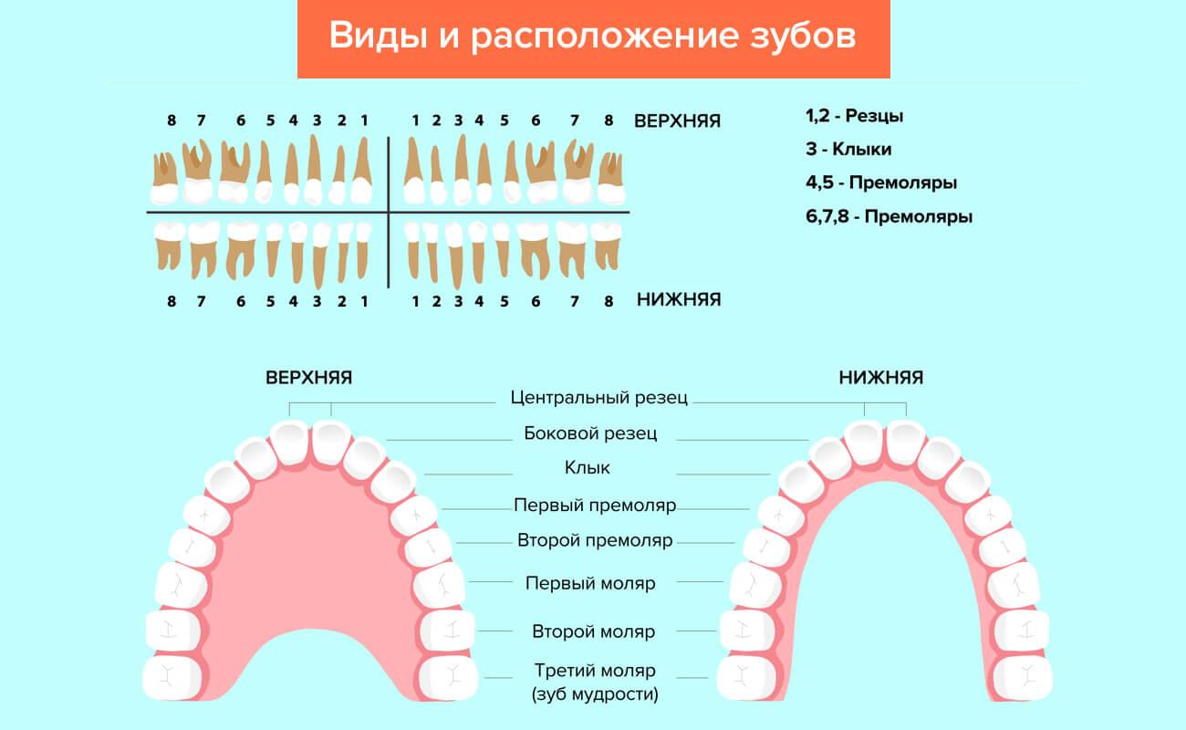 Схема зубов с номерами фото 778