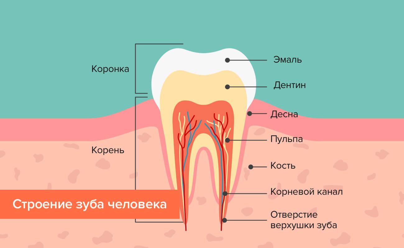 Строение зуба человека в картинках