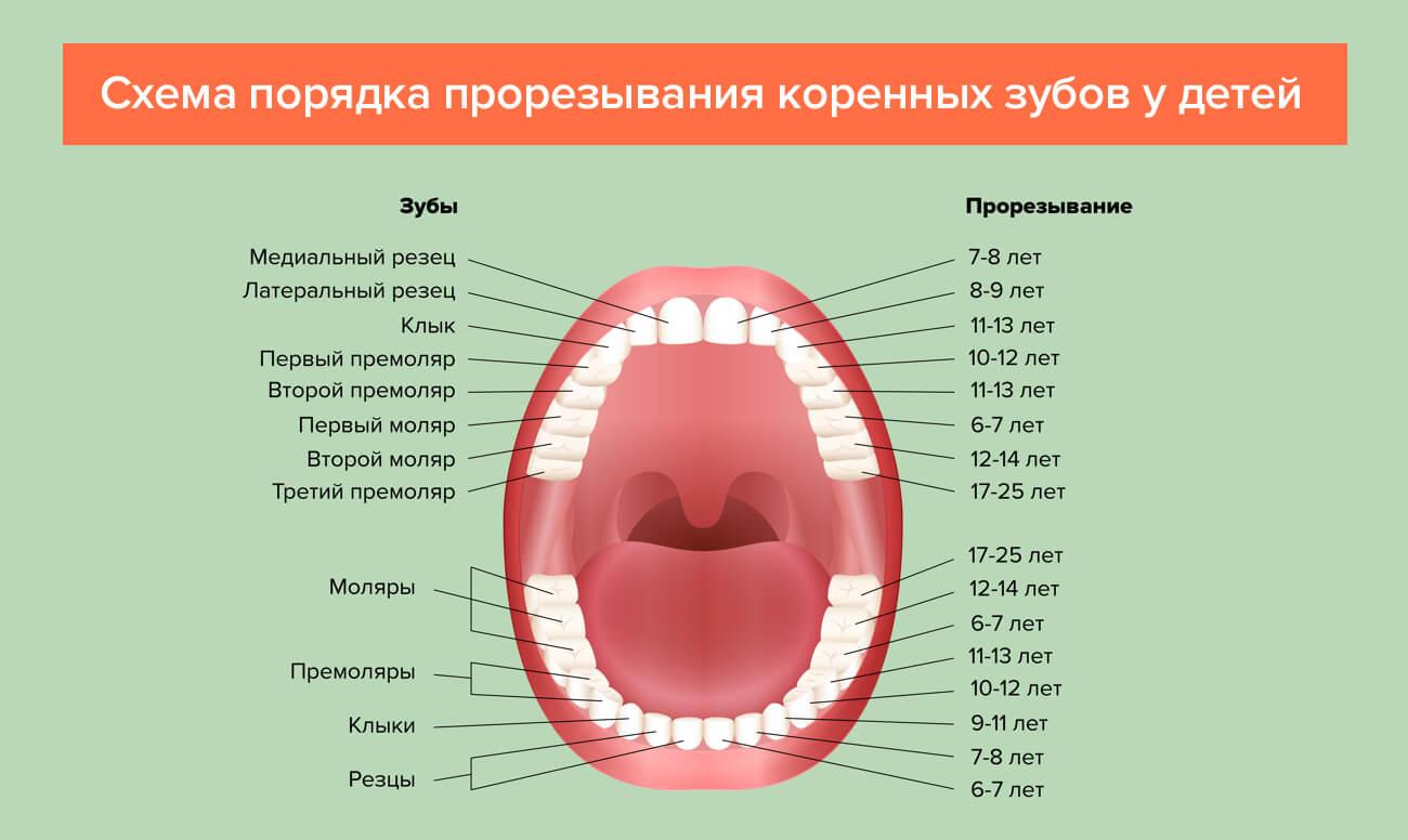 Схема прорезывания коренных зубов у детей в картинках