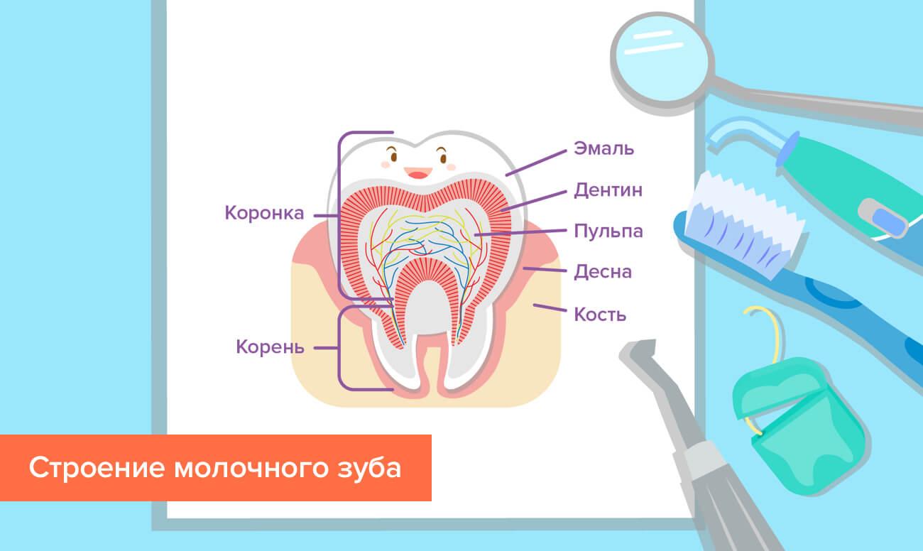 Строение молочного зуба в картинках