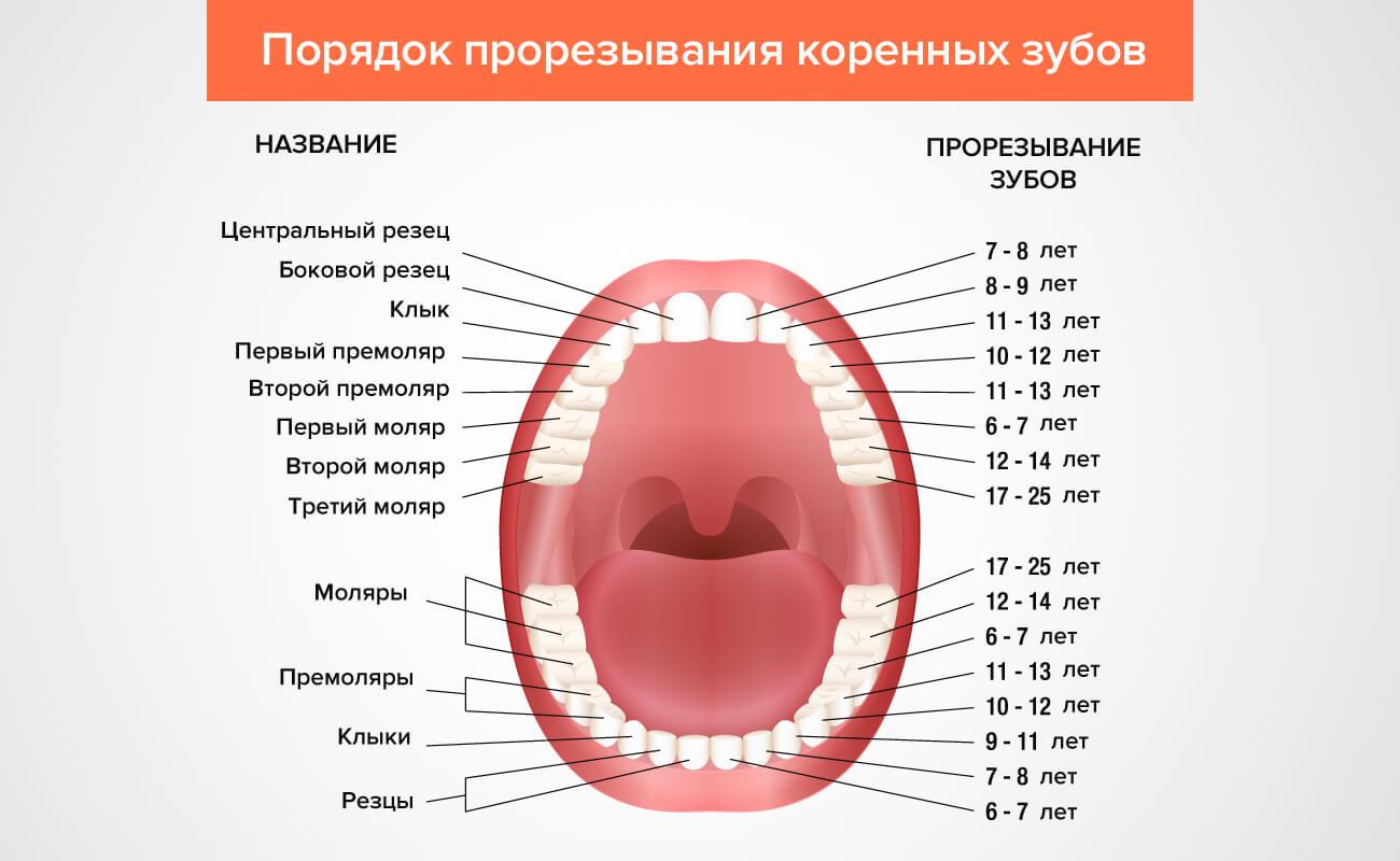 Что такое моляры? Зуб 54