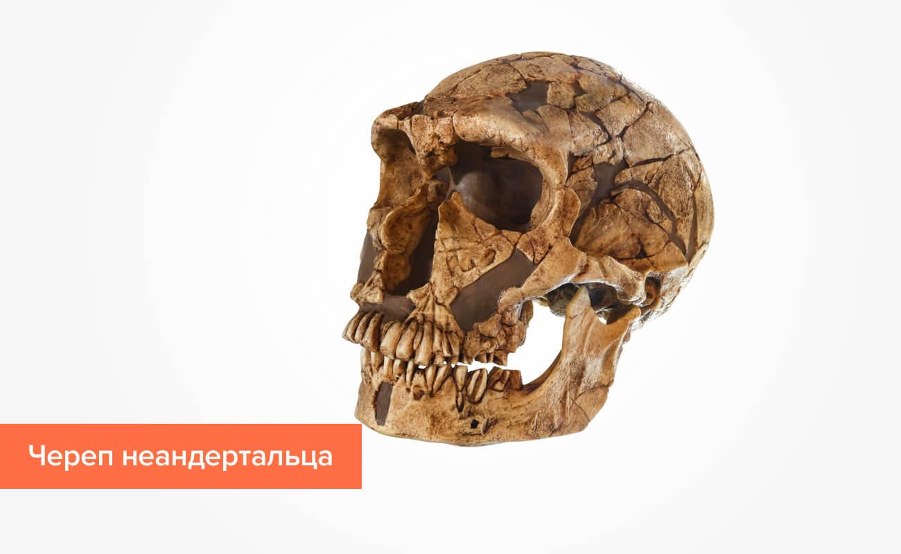 Фото черепа неандертальца