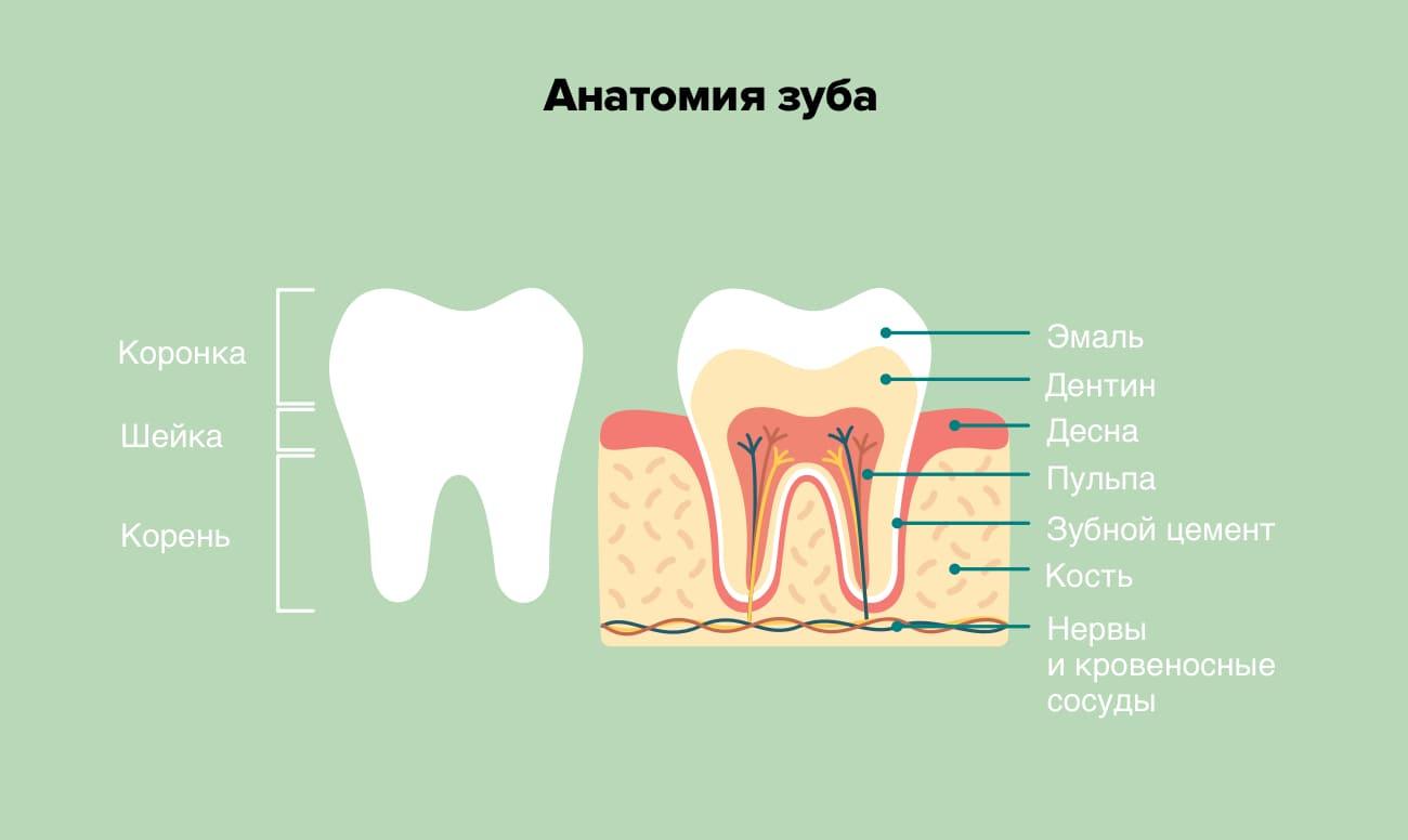 Анатомия зуба в картинках