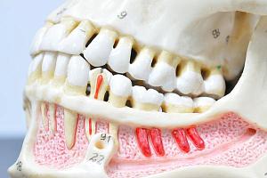 Что такое настоящие зубы?
