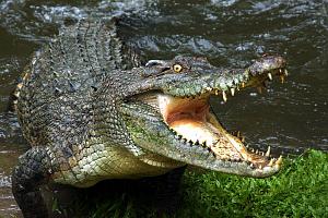 Зубы крокодила крупным планом
